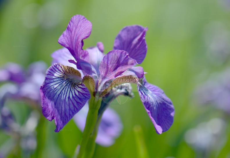 Iris germanica agg.