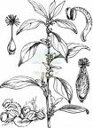 Parietaria officinalis